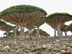 How cool is this Dragon blood tree? (Dracaena cinnabari): Nature, Islands, Trees, Yemen, Places