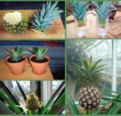 How to grow a pineapple: Ideas, Plants, Gardening, Pineapple, Diy, Garden