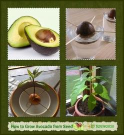 How to Grow Avocado from Seed or Pit....Brayden's been wanting to do this!: How To Grow Avocado, Grow Avocado From Seed, Growing Avocado From Seed, Avocado Plant, Grow Avocado Tree, Seeds, Growing Avocados, Garden