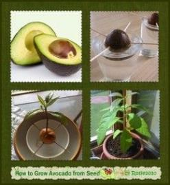 - How to Grow Avocado from Seed or Pit, by Rosie2010 -: How To Grow Avocado, Grow Avocado From Seed, Avocado Plant, Growing Avocado From Seed, Grow Avocado Tree, Seeds, Growing Avocados, Garden