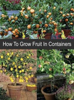 How To Grow Fruit In Containers...http://homestead-and-survival.com/how-to-grow-fruit-in-containers/: Garden Container, Fruit Garden, Container Garden, Container Fruit Tree, Grow Fruit, Backyard Fruit Trees, Growing Fruit Tree, Fruit Trees Backyard