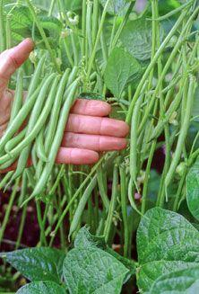 How to grow green beans in your home garden: Green Thumb, Gardening Vegetable, Growing Green, Green Beans, Vegetable Garden