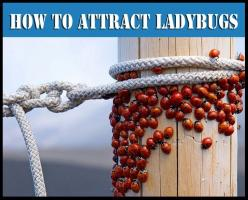 How to Make a Ladybug Feeder  Attract Them to Your Garden ~ they feed on aphids, mealybugs, leaf hoppers, scales and mites.: Garden Pest, Ladybugs Feed, Ladybug Feeder, Gardening Ideas, Garden Tips, Attracting Ladybugs, Attract Ladybugs, Feeder Attract