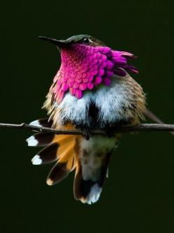 Hummingbirds can flash their bright colors, as well as hide them when needed. Beautifully interesting!: Animals, Humming Birds, Wine Throated Hummingbird, Nature, Color, Beautiful Birds, Hummingbirds
