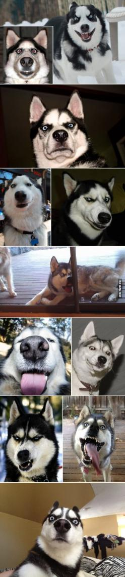 {Huskies in various emotional states. I cant stop laughing!} I adore this (and also feel like these need Moon Moon captions). OH MY GOSH!!!! LOL!!! |Humor||Funny animals||Dogs|: Emotional States, Funny Husky, Animals, Dogs, Husky Faces, Husky Emotions, Fu