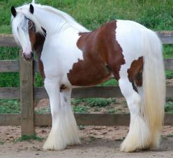 I'm not a big draft lover, but if I were to get one, a Gypsy would be it! Tristan | Westmoreland Gypsy Vanner Adorable!: Beautiful Horses, Gypsy Horses, Animals, Draft Horses, Westmoreland Gypsy, Watering Horses, Beauty, Gypsy Horse, Gypsy Vanner Hors