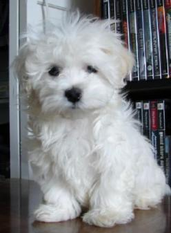 I'm not normally one to want a little fluffy dog... but I'll make an exception for this little angel face. : Animals, Maltese Dogs, Teacup Puppies, Pets, Teacup Maltipoo, Puppy, White Maltipoo, Golden Doodles