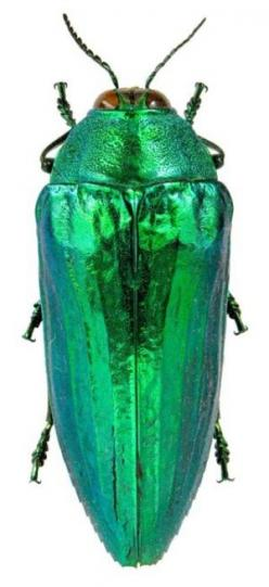I've got earrings made out of beetles wings that look just like this: Nature, Color, Green, Iridescent Beetle, Beetles, Animal