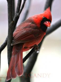 I've said it before, but I will say it again, the Cardinal is truly one of my favorite species of birds. I just love the color combination.: Redbird, Cardinal Remind, Cardinals Birds, Cardinal Birds, Favorite Bird, Birds Cardinals, Animal, Color Combi