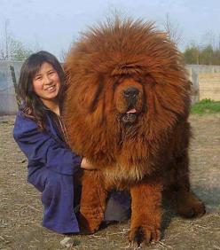 I can trick him into getting a dog if I just tell him it's a lion...: Animals, Puppies, Pets, Funny, Tibetan Mastiff, Tibetanmastiff, Friend, Big Dogs