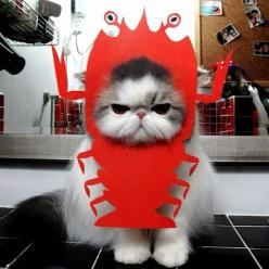 I don't care. I want Red Lobster now. I'm ready. What are you waiting for.      I just want to know how they got the cat to sit still long enough to take this pic!!  HAHA!!: Cats, Animals, Funny Cat, Pet, Costume, Funny Stuff, Lobster, Kitty