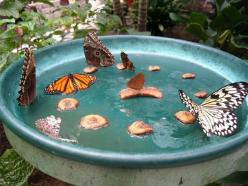 I had no idea you could make a butterfly feeder this way, what a great project to do with your kids: Homemade Butterfly, Idea, Garden Outdoor, Butterflyfeeder, Butterflies, Butterfly Feeder, Gardening Outdoor, Butterfly Garden