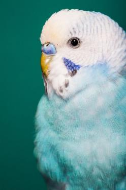 I have a pet parakeet named Clarabelle that looks very similar to this budgie.: Flickr, Animals, Dylan Osborne, Budgies Parakeet, Photo, Birds, Dylan O'Brien