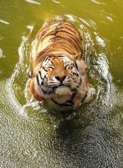 I have thought tigers were beautiful since I was a child. Wrote my first report in elem. school about tigers. I am excited for the time when the lamb and the lion--the sarah and the tiger--can be friends.: Tiger Smile, Animals, Big Cats, Bigcats, Beautifu