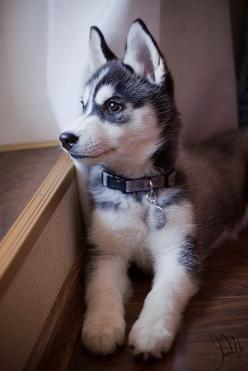 I Love all Dog Breeds: 10 of the fastest running dog breeds: Siberian Huskey, Siberian Husky, Siberian Huskies, Dog Pictures, Husky Dogs, Huskies Puppies, Animal