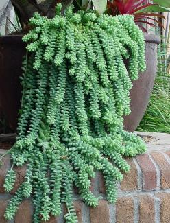 I Love Burro's Tail. I used to have a really large one I grew! Think I need a new one again!: Succulent, Burro S Tail, Tail Sedum, Donkey Tails, Donkeys, Morganianum Donkey, Garden