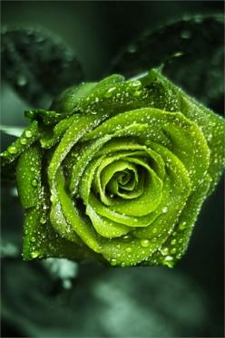 I love green! A red rose is still the best but this green one is pretty cool!: Color Green, Beautiful Roses, Green Roses, Nature, Gorgeous Green, Beautiful Flowers, Green Flower, Garden