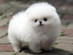 I'm Fluffy and I Know It: Animals, Puppies, Dogs, Fluffy, Pet, Puppys, Pom Pom, Pomeranian, Fluff Ball