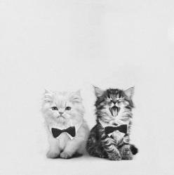 I swear, I'm going to turn into the crazy cat lady. The one with it's mouth open looks like it should be called Wogan :): Cats, Kitty Cat, Animals, Bow Ties, Pet, Bowties, Crazy Cat, Kittens, Cat Lady