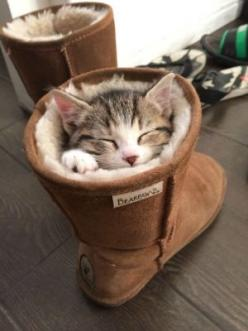 I think he found somewhere warm to take a nap :) One of qSample's specialty panels is Pet Owners. You can find more information at www.qsample.com/pet-owners: Cats, Ugg Boots, Animals, Pet, Adorable, Kittens, Kitty, Christmas Gift