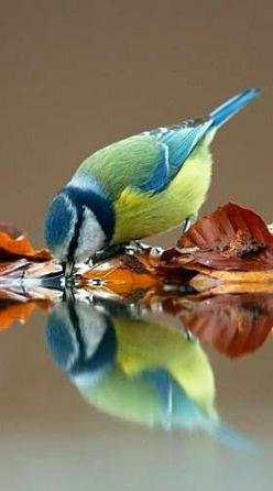 I think this is a bluetit. Gorgeous photograph with reflection. Don't know who the photographer is.: Reflection, Bluet, Little Bird, Beautiful Birds, Blue Jay, Blue Tit, Animal