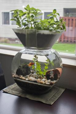 I want one of these!! The Goldfish Garden aquaponic aquarium: Aquaponics Gardening, Garden Aquaponic, Fish Tanks, Gardening Aquaponics, Goldfish Garden, Aquaponic Aquarium, Aquaponics Hydroponics, Diy Beta Tank, Gardens
