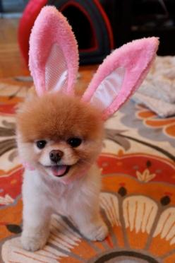 .  If Bruiser was really tired he may like this, little cuttie.: Animals, Dogs, Boo, Pets, Puppy, Bunnies, Happy Easter, Pomeranian