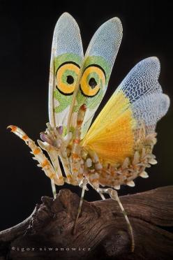Igor Siwanowicz ~ Praying mantis; Source: http://browse.deviantart.com/photography/nature/insects/?order=9=432: Butterfly, Igor Siwanowicz, Macro, Flower Mantis, Animals Insects, Butterflies Insects, Photo, Spiny Flower, Praying Mantis