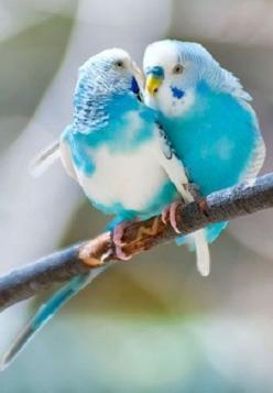 "In México we call them ""Periquitos de Amor"" (Love Little Parrots). Beautiful turquoise pair.: Birds Parakeets, Animals Reptiles Sea Birds, Beautiful Colours, Beautiful Wings, Beautiful Birds, Budgies Parakeet, Blue Parakeets, Beautiful Creatures"