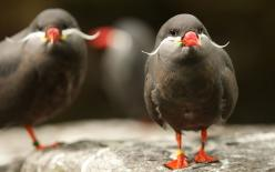 Inca Tern - These awesome seabirds with mustaches nest in rocky hollows or burrows along the coasts of Peru and Chile.: Inca Terns, Animals, Moustache, Nature, Incaterns, Mustaches, Birds