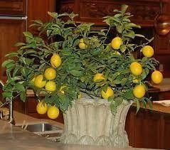 Indoor Lemon Trees, especially the Meyer Lemon Tree, are easy to grow and very satisfying. They are perfectly sized to grow in a container inside.: Green Thumb, Perfectly Sized, Dwarf Lemon, Meyer Lemon, Fruit Trees, Indoor Lemon, Lemon Trees