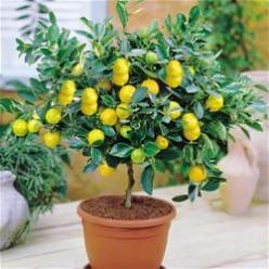 Indoor Trees - Lemons, limes, oranges, kumquat, clementine, strawberry, blueberry, grapefruit, banana, pineapple, papaya, nectarine, kiwi, apple, avocado, tomato, and figs: Garden Indoor, Green Thumb, Trees Indoor, Indoor Fruit