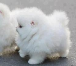 It's so fluffy im gonna die!: Cotton Ball, Animals, Puppies, Dogs, Fluffy, Pets, Puppys, Adorable, Fluff Ball