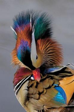 It's kinda like fireworks  Preening MANDARIN DUCK (Male) Aix galericulata: Animals, Mandarin Duck, Nature, Creature, Ducks, Beautiful Birds, Beautifulbirds