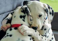 its fine. just some pup hugs. Source: http://piccsy.com/2011/12/gimmee-a-hug-x01g2wpwr/: Animals, Dogs, Sweet, Hug, Puppy Love, Pet, Puppys, Dalmatians, Friend