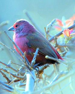 Jameson's Firefinch (Lagonosticta rhodopareia) is a common species of estrildid finch found in Southern Africa.: Jameson S Firefinch, Beautiful Color, Pretty Birds, Beautiful Birds, Jamesons Firefinch, Animal, Firefinch Bird