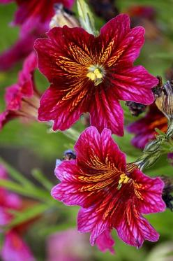 (Jehovah's Paintbrush?) Photo: http://fineartamerica.com/featured/alive-and-vibrant-rosanne-jordan.html: Amazing Flowers, Salpiglossis Sinuata, Flowers Plants, Vibrant Floral, Flowers Gardens Plants Etc, Beautiful Flowers, Gardening Gardens Flowers