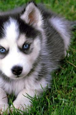 Just look at this little guy's face!!! He's so freakin cute and adorable and those are are just gorgeous!!! I WANT A HUSKY!!!: Animals, Dogs, Siberian Husky, Pet, Puppys, Siberian Huskies, Huskies Puppies, Eye