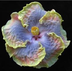 Kaleiʻs Rainbow Tropical Hibiscus...this one is sold out.: Flowers Plants, Hibiscus Flowers, Beautiful Flowers, Pretty Flowers, Kaleis Rainbow, Hibiscus KaleiʻS, Tropical Hibiscus Gorgeous