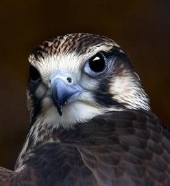 Kestrel - great detail for this type of bird painted on a rock. I love that shade of blue.: Animals, Eagle, Falcons, Beautiful Birds, Photo, Eye