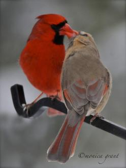 ☀Kissing Cardinals by monicagrant1 on Flickr*  ( I would imagine this is actually an male adult feeding a larger female fledgling): Female Cardinals, Animals Birds Cardinals, Butterflies, Cardinals Birds, Birdie, Beautiful Birds, Kissing Cardinals, Photo,