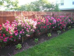 Knockout roses. We have two of these planted and I hope they do this well. This page has pictures of some really pretty roses in someone's yard.: Backyard Ideas, Gardening Flowers Trees, Backyard Roses, Creativebackyardpatios Gardens, Gardening Backya