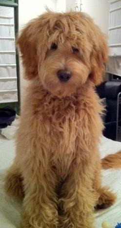 Labradoodle Puppies for sale Australian Labradoodles California, Nevada, Arizona, San Diego California. Are these puppies better than Golden Doodles?? We Ship to New York, Chicago, Florida, Germany, Netherlands, Amsterdam, Hong Kong.: Fun Hairstyle, Labra
