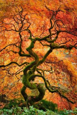 Laceleaf maple tree, Japanese Garden at Bloedel Reserve, Washington.: Laceleaf Maple, Fall Colors, Nature, Japanese Gardens, Greg Vaughn, Trees