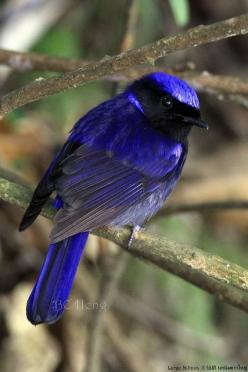 Large Niltava: Bangladesh, Bhutan, Cambodia, China, India, Indonesia, Laos, Malaysia, Myanmar, Nepal, Thailand, Vietnam. Old World flycatcher family: Birds Birds, Large Niltava, Cobalt Blue, Beautiful Birds, Photo, Animal