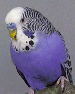 Lavender Budgerigar ~ Budgie for short ~ from Australia: Parakeets, Budgies, Pet, Purple Parakeet, Birds, Violet Budgie