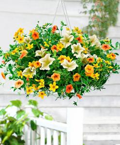 Lemon Sorbet (1 Petunia + 1 Bidens + 1 Calibrachoa).  A Wonderful combination of the spring and summer colours of yellow and orange!!: Flowers Gardens Plants, Hanging Flowerbaskets, Flower Baskets, Flowers Plants, Garden Flowers, Garden Backyard, Lemon So