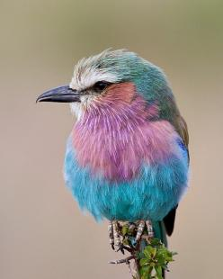 Lilac-breasted roller, in Kenya: Animals, Nature, Color, Beautiful Birds