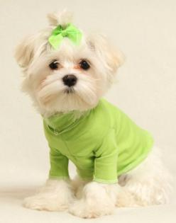 Lime Green Turtleneck Shirt: Green Turtleneck, Color Limegreen, Shirts, Clothes, Pet, Lime Green, Limes, Beautiful Dogs