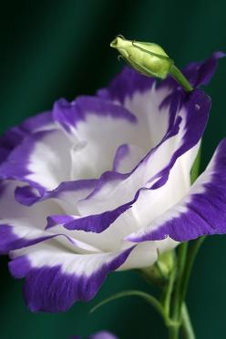 Lisianthus - love the color: White Rose, Purple, Lisianthus, Roses, Flower Power, Beautiful Flowers, Garden, Flower, Favorite Flower